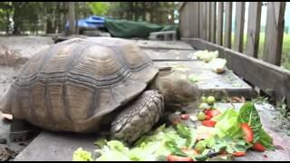 Ускоренный завтрак черепахи