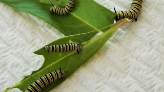 RAISING MONARCHS - Finding Monarch butterfly eggs and caterpillars.