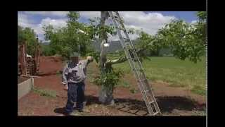 How To Top Work Older Walnut Trees - UCANR
