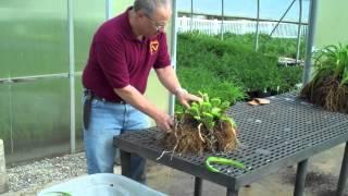 Dividing Daylilies