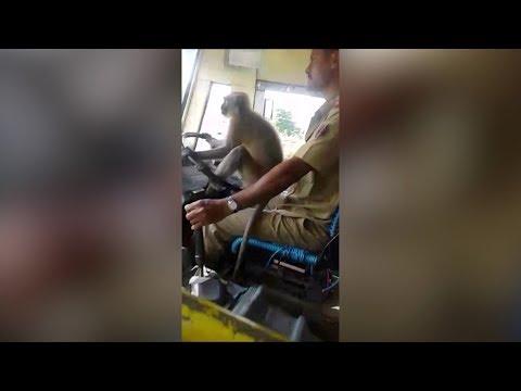 Affe als Busfahrer