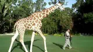 Coulter the Giraffe Walks on a Leash