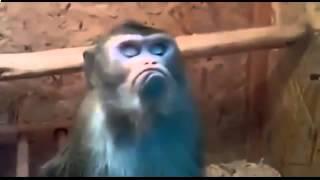 Хохма!    Обиженная на весь мир обезьяна