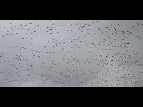 ditch-picking-for-snow-geese