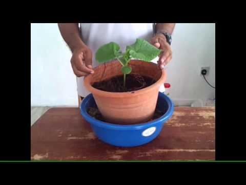 Video Tanam Timun Di Dalam Rumah