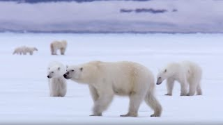 Film Crew Surrounded by 13 Wild Polar Bears   BBC Earth