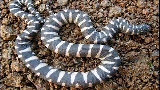 Nử thợ săn bỏ chạy gì cặp rắn trong bẫy (clip55) brct