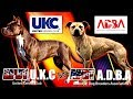 LOS Diferentes TIPOS DE perros PITBULL (APBT) bajo la norma de los estándares ADBA Y UKC