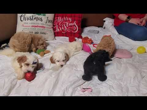 Another chistmas video of the Cockapoo litter