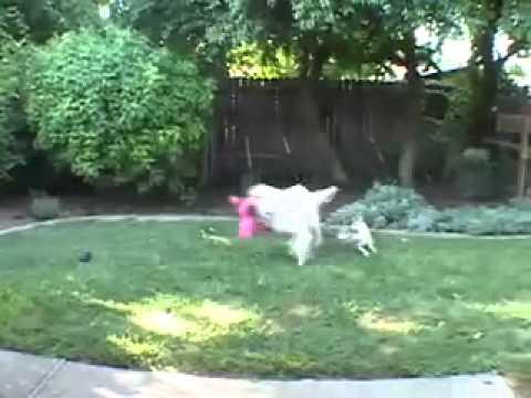 Appropriate Dog Play - Jonesy & Ryder