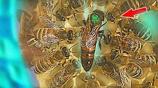Сравниваем как последний месяц развивались пчёлы в прозрачном улье и в аквариуме!  Со старта силы были почти одинакоые с небольшим перевесом в пользу пчёл в аквариуме, но за последние 30 дней расклад сил очень сильно изменился.  Мы в TikTok: https://www.tiktok.com/@live_today_/ Моя инста: https://www.instagram.com/vchsl_yepifantsev/ Инстаграм енота Хайпа: https://www.instagram.com/enothype/ Сотрудничество- fancef@gmail.com __________________________ Подписывайся и не пропусти, впереди много интересного...
