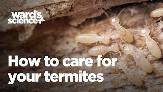 Caring for Termites