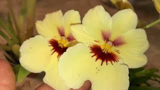 Клуб орхоманов июнь 2018. У кого что цветёт. Милтониопсис, онцидиум, башмачки, целогина и др орхидеи