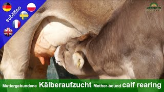 Mother-bound calf rearing at the Rengoldshausen farm explained by Mechthild Knösel