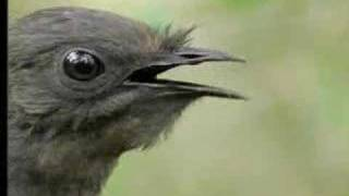 Lyrebird - Vocal Mimicry