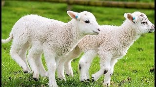 Learn Farm Animals Sheep Eats food vegetables - Animals Names for Children.