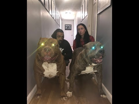 BEST OF GIANT FAMILY PITBULL THE HULK 2018 (AMAZING) 🦍