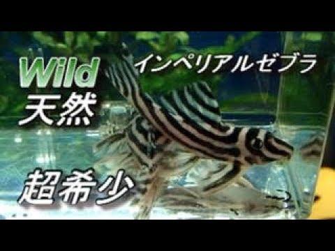 超・超希少なWILD(天然)インペリアルゼブラ・プレコ ♂♀導入
