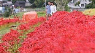 真っ赤に染まるヒガンバナ 京都・亀岡 | Kholo.pk