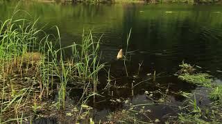 поклёвка карася на безымянном болотце