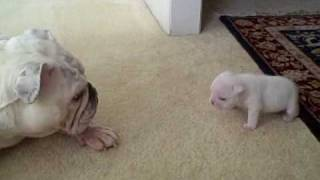 Elvis the Bulldog Puppy reads his mom the riot act