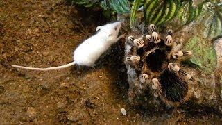 Large Brutal Tarantula Kills Mouse (Acanthoscurria Geniculata)