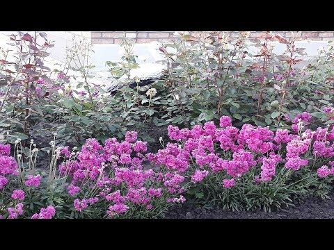цветы  конец мая начало июня красота лето flower люпин лилейник смолка розы сад