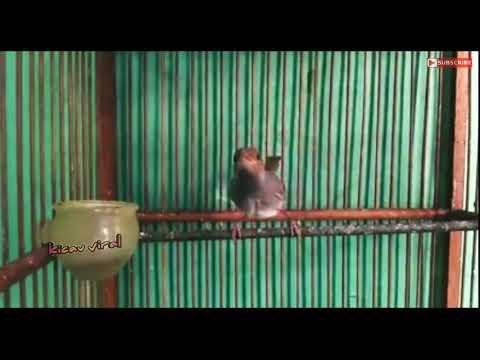 Burung Prenjak Gacor Cari Lawan