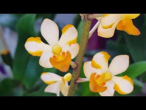 Цветение под занавес.. орхидеи удивляют, радуют и не сдаются! )