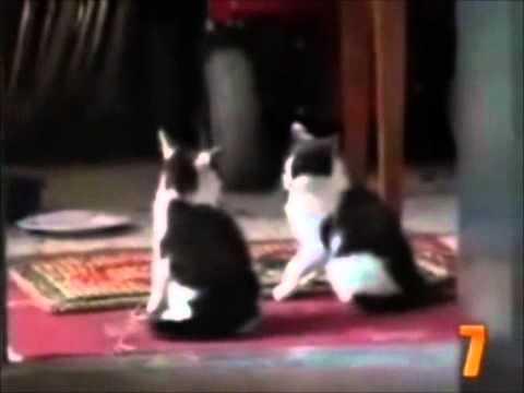 Gatos Malucos 1