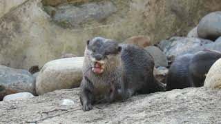 Asian Otter Flosses Its Teeth