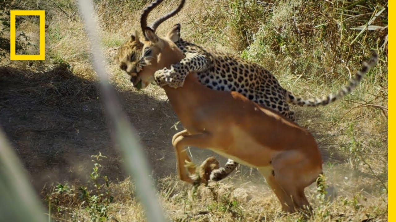 Leopard Hunts an Impala | Savage Kingdom thumbnail