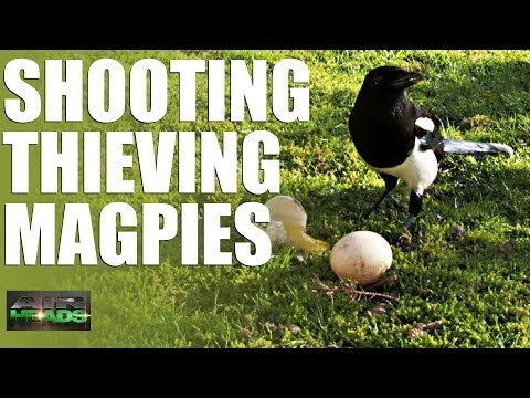 Shooting Thieving Magpies – AirHeads, episode 6