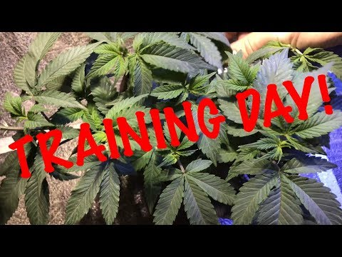 Let's Train Something! (Cannabis) w/Pigeons420