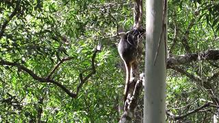 Lumholtz's Tree-kangaroos descending a tree
