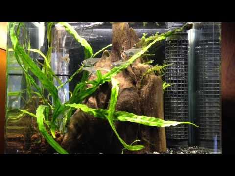 aquarium プリステラ(Pristella maxillaris)