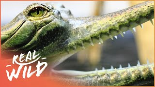 Searching For Mythological Gharial Crocodile | Weird Creatures | Wild Things Documentary