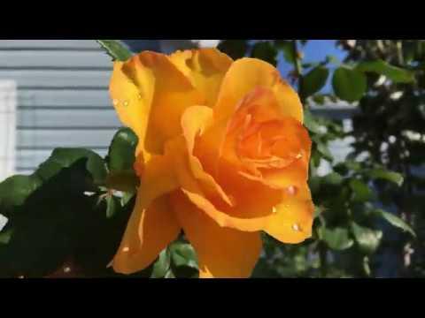 Роза Керио. 12 октября 2019г В саду после дождя.