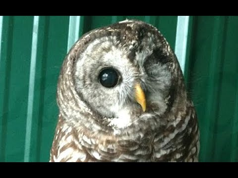 LIVE: Blind Rescue Owl Hooting & Cooling Off at Bird Sanctuary   The Dodo Live