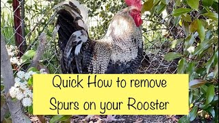 Quick How To Remove Spurs On Roosters
