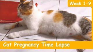CAT PREGNANCY TIME LAPSE WEEK 1-9 (4 KITTENS) | PERKEMBANGAN KUCING HAMIL MINGGU 1-9 | Paw Pawers