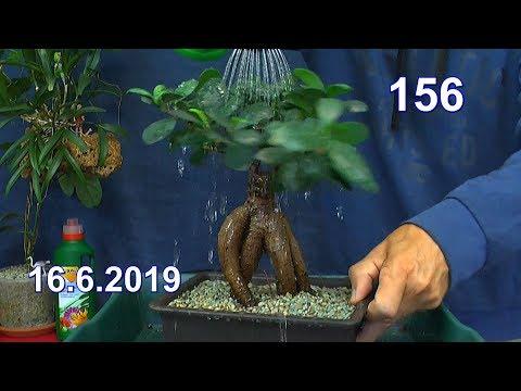 Ficus Ginseng Bonsai umtopfen in mineralisches Substrat ohne Erde