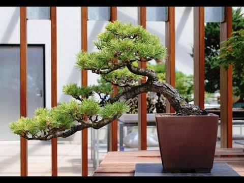 Himalayan Cedar Bonsai Tree (cedrus deodara 'silver-mist')