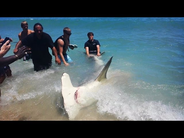 Fort Lauderdale Florida Giant 13 Foot Hammerhead Shark! (ORIGINAL VIDEO)