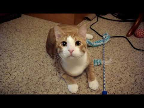 Cheeto, an adoptable Tabby & Domestic Short Hair Mix in Springfield, OR_image-1