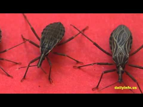 Video Beware Of Deadly Kissing Bug Already Spread Everywhere
