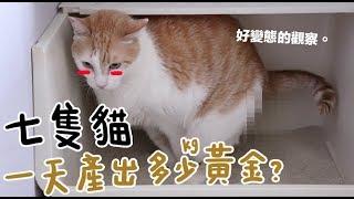 【黃阿瑪的後宮生活】七隻貓一天產出多少kg黃金?