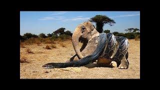 LIVE : King Cobra Snake Vs Elephant Real Fight | Cobra Attack Baby Elephant | Attack of Animals