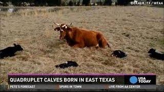 Holy Cow Rare Quadruplet Calves Born In Texas