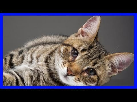 Third Eyelid Showing In Cats - Causes, And Treatment
